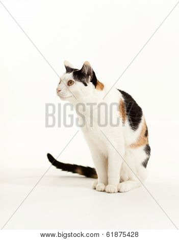 Calico Cat Sitting looking to the side