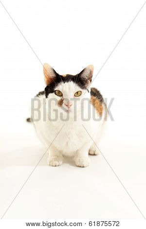 Calico Cat Looking at Camera with Head up