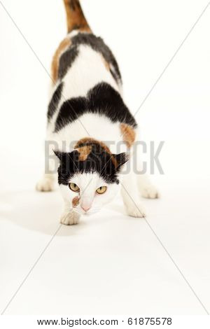 Calico Cat Crouching Looking at Camera