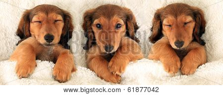 Three dachshund puppies in bed. Three is a crowd concept.