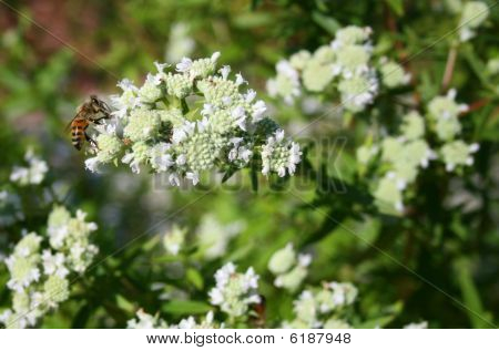 Bee Buzzing Around White Flowers