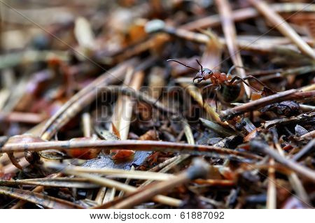 Macro Forest Ant