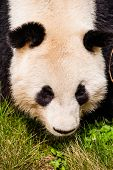 foto of pandas  - Giand panda bear walking on green grass - JPG