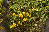stock photo of lantana  - Yellow lantana camara blossom and stone wall - JPG