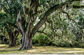 stock photo of century plant  - Century old Live Oak tree draped in Spainish moss waits for the return of warmer weather - JPG