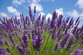 stock photo of lavender plant  - Violet lavender flowers and blue sky with some little white clouds like wads of cotton - JPG