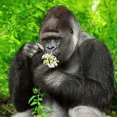 stock photo of gorilla  - Large silverback gorilla gently holding a bunch of little flowers and observing them closely - JPG