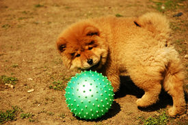 foto of chow-chow  - Chow - JPG