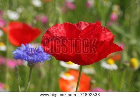 Red Poppy On Meadow