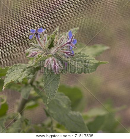 Organic Gardening, Borage Flowering