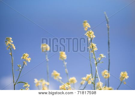 Blue Sky Spring Background With Canola Rapeseed Flowers