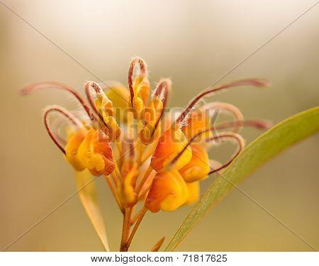 An Australian Wildflower Grevillea Venusta
