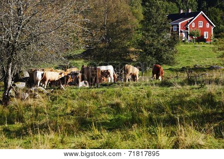 grazing cows, cattle, set against old red farm, trees and forest, Sweden
