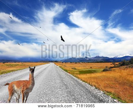 Above the dirt road on the pampa Andean condor soars. Curious llama watching the road. On the horizon are seen snow-capped mountains