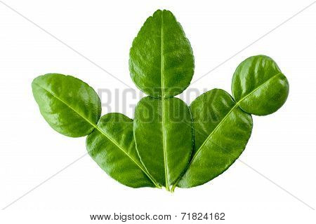 Kaffir Lime Leaf On White Background - Thai Herbs