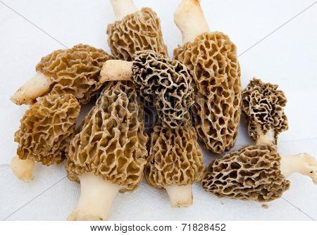 Morchella Morels Sponge Mushrooms on white