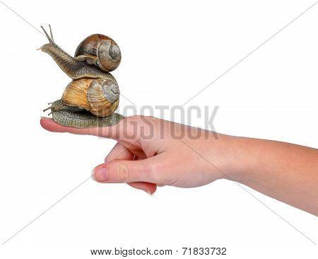Garden snails on hand