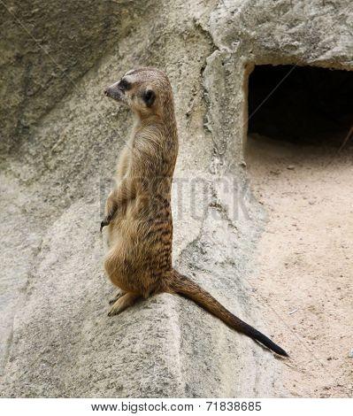 Single meerkat is standing.