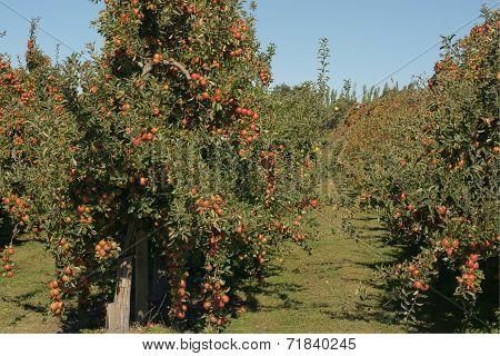 Braeburn Apple Orchard
