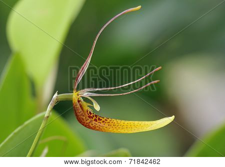Hairy Tongued Restrepia Orchid