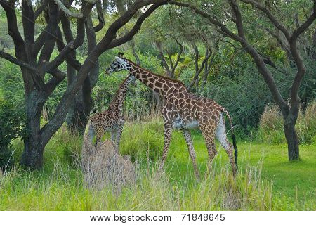 Giraffes in Nature