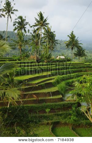 Bali  Young Terrace Ricefields