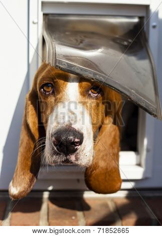 curious Basset hound peeking out from pet door