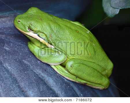 Pretty Green Frog