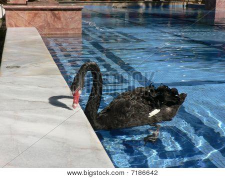 Black Swan Swimming