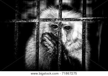 Monkey Sucking Thumb Behind Bars