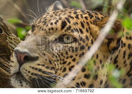 detail portrait Ceylon leopard ( Panthera pardus kotiya )