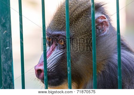 Mandrill monkey imprisoned in the zoo