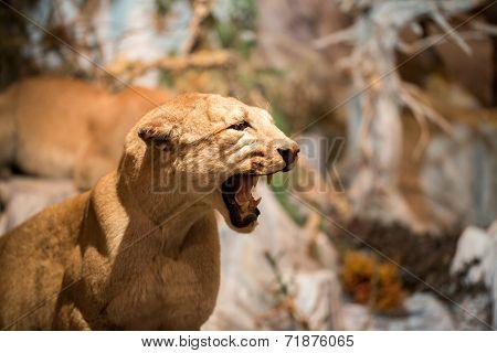 Portrait of the Puma in close up