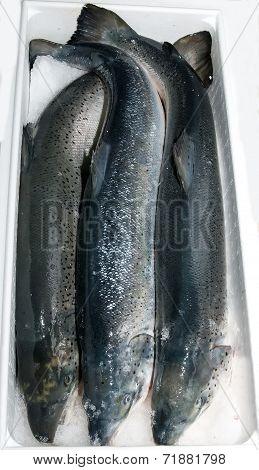 fresh frozen salmon