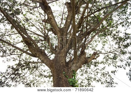 Old Or Classic Rain Tree With Small Leaf