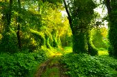image of creeper  - Muddy road through fairytale forest overgrown with creepers - JPG