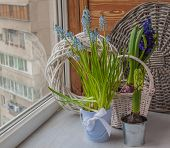 pic of cowslip  - Spring gardening on the balcony window - JPG
