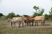 stock photo of mongolian  - Przewalski - JPG