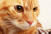 pic of mew  - Red cat closeup - JPG