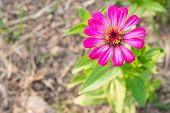 stock photo of zinnias  - Pink zinnia blossom at top right - JPG
