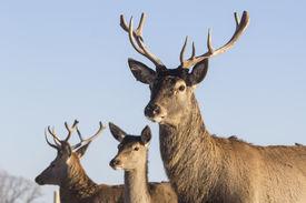 picture of deer  - Young deer in winter in early morning - JPG