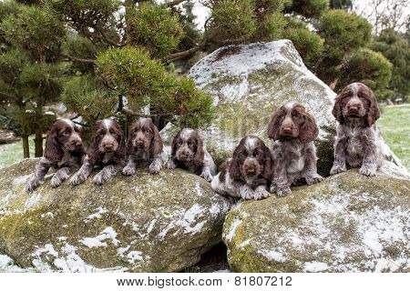 Portrait Of Small Puppies Of English Cocker Spaniel