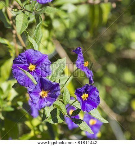 flower of solanum
