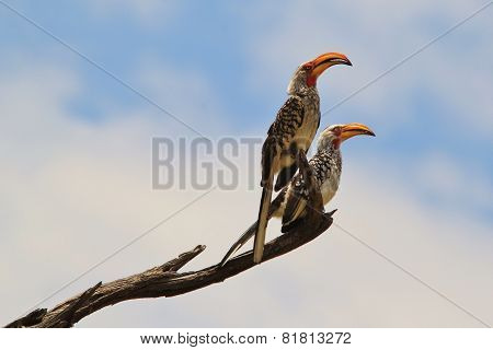 Yellow Billed Horn-bill - African Wild Birds - Posing Freedom