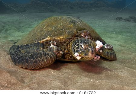 Sick Green Sea Turtle