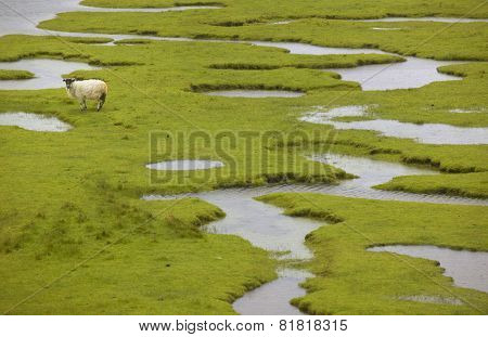 Scottish Landscape With Sheep In Wet Land. Lewis Isle. Scotland