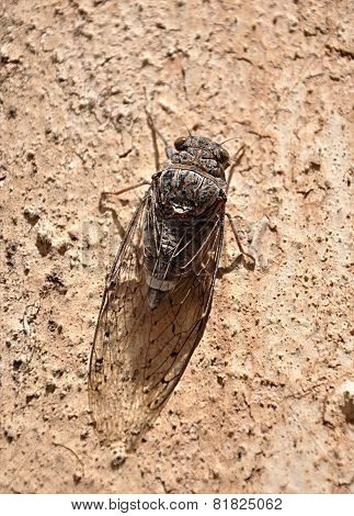 insect on the wall - brown cicada