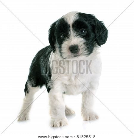Puppy Tibetan Terrier