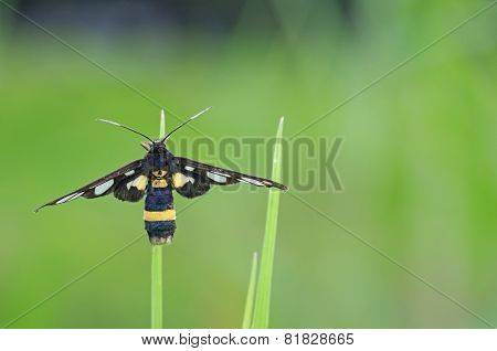 wasp moth on the grass tip