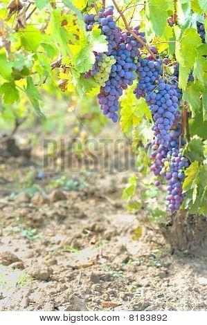blaue Trauben im Weinberg